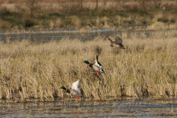 Mallards are finding an abundance of food in Arkansas rice fields due to a regenerated rice crop known as ratoon rice.
